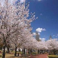 宮崎県の桜の穴場2016年の開花、満開の見ごろ、予想は?ライトアップは?