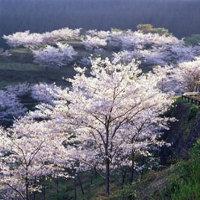 宮崎県日南市北郷町の花立公園2016年の桜の開花、満開の見ごろ、予想は?ライトアップは?