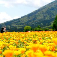 宮崎県の花の駅生駒高原の菜の花、パンジー、ポピーの開花見頃時期は?アクセス、駐車場は?