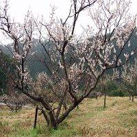 宮崎市の梅の花の名所「好隣梅」の見頃時期は?まつりは?場所、アクセスは?駐車場は?