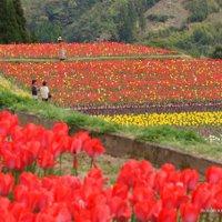 宮崎県日之影町の中川チューリップまつり2016の期間、開花見頃、アクセス、駐車場は?