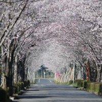 宮崎県小林市の桜の名所の牧場の桜まつり2016年のお花見の見ごろ、ライトアップ、アクセス、駐車場は?