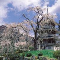 九州秘境の宮崎県五ヶ瀬町のしだれ桜の名所の浄専寺2016年のお花見の見ごろ、ライトアップ、アクセス、駐車場は?