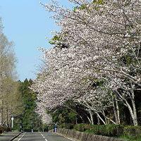 宮崎県宮崎市の桜の名所の平和台公園2016年のお花見の見ごろ、アクセス、駐車場、料金は?