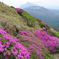 宮崎県えびの高原観光でミヤマキリシマのお花見の開花見ごろ、アクセス、駐車場は?