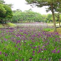 宮崎県宮崎市の阿波岐原森林公園市民の森のはなしょうぶ2016年の開花見ごろ、はなしょうぶまつり、ライトアップ、アクセス、駐車場は?