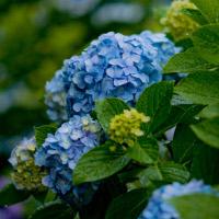 宮崎県立青島亜熱帯植物園2016年のギボウシ・あじさい展の期間、イベント、アクセス、駐車場は?