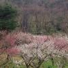 宮崎市の好隣梅の開花情報、開花状況見頃と梅まつり、アクセス、駐車場は?