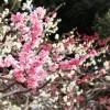 宮崎市の市民の森梅園の梅まつりと開花情報、開花状況見ごろ、アクセス、駐車場は?
