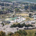 観音池公園の桜お花見の見頃開花状況と桜祭り、アクセス、駐車場は?