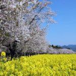 西都原古墳群の桜と菜の花の見頃開花状況と桜祭り、アクセス、駐車場は?