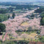 都城市観光名所で春のおすすめスポットの母智丘公園桜まつり