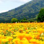 生駒高原のポピー見頃開花状況と生駒高原ポピーまつり、アクセス、駐車場は?