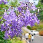 日南市道の駅南郷のジャカランダ祭りと開花見頃、アクセス、駐車場は?