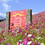 生駒高原コスモスまつりの見ごろ開花状況情報とナイトコスモスの日程、アクセス、駐車場、混雑は?
