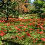 高原町皇子原公園の彼岸花の見頃開花時期と彼岸花祭りの日程、イベント、アクセス、駐車場は?