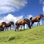 宮崎観光おすすめドライブコースの都井岬の御崎馬とは?アクセス、行き方は?