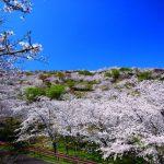 日南市北郷町の花立公園の桜の開花見頃は?イベント、ライトアップは?周辺の温泉は?
