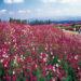 宮崎県の生駒高原コスモス祭りと花火・ナイトコスモスの日程と時間は?