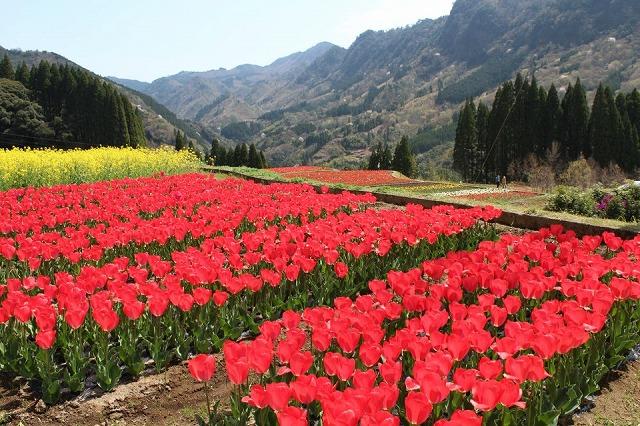 20130403-nakagawa-tulip